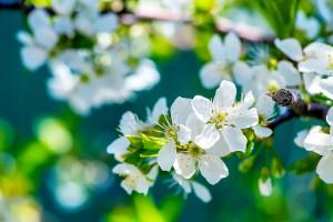apple_flowers-wide